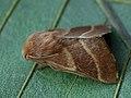 Malacosoma neustria ♂ - The Lackey (male) - Коконопряд кольчатый (самец) (39195478080).jpg