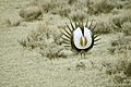 Male Greater Sage-Grouse (7094170349).jpg