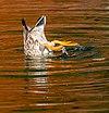 Mallard (Anas platyrhynchos) diving for food, New Zealand.jpg