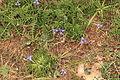 Malta - Dingli - Triq Panoramika - Cliffs - Moraea sisyrinchium 01 ies.jpg