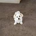 Maltese Shitzu Pomeranian dog.jpg