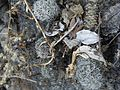 Mammillaria sphacelata (5758864129).jpg