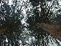 Mammutbaum beim Waldlehrpfad bei Sulz am Neckar, Dieser Mammutbaum wird in Nordamerika bis zu 4000 Jahre alt und 100 m hoch, Riesenmammutbaum Sequoia, Sequoiadendron giganteum, 1865 auf Veranlassung König Wilhelms i - panoramio (6).jpg