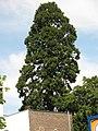 Mammutbaum gegenüber Stadtcenter Düren, 20. 05. 2012 - panoramio.jpg