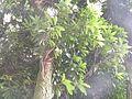 Mangifera indica L.jpg