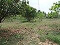 Mango Garden left - panoramio.jpg