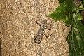 Mantis( Liturgusidae) 0372.jpg