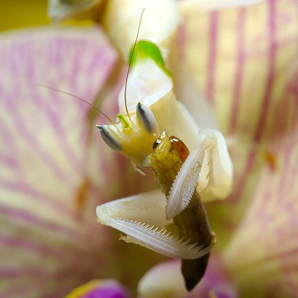 File:Mantis Hymenopus coronatus 5 Luc Viatour.jpg