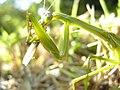 Mantis eating locust DSCN9766.jpg
