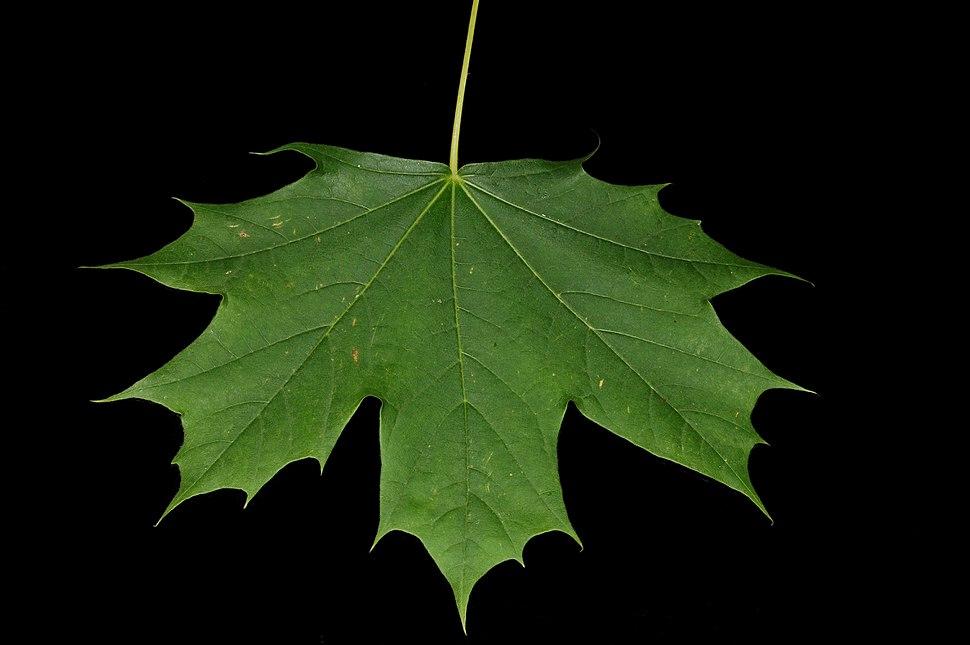 Maple leaf Fcb981