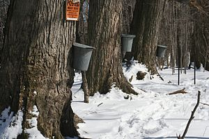 Maple trees with taps and buckets for collecti...