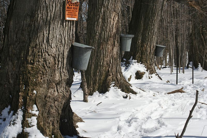 File:Maple sap buckets - Beaver Meadow Audubon Center.jpg