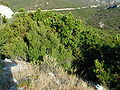 Maquis and garrigue in Corsica5.jpg