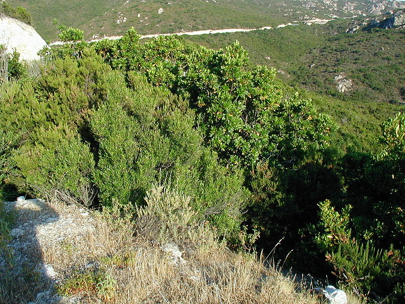 File:Maquis and garrigue in Corsica5.jpg