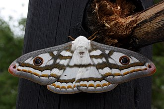 Saturniidae - Marbled emperor moth (Heniocha dyops) in Botswana