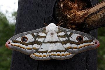 360px-Marbled_emperor_moth_heniocha_dyop