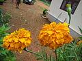 Marigold - ചെട്ടിമല്ലി 02.JPG