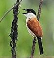 Marsh Tchagra, Luita, DRC (6700728549) (cropped).jpg