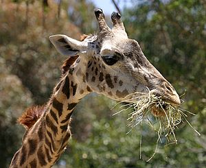English: The head of a Masai Giraffe at the Sa...