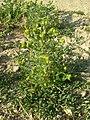 Matricaria discoidea plant (03).jpg