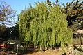 Maytenus boaria - San Luis Obispo Botanical Garden - DSC05987.JPG