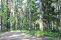 Meža ceļš, Tīnūžu pagasts, Ikšķiles novads, Latvia - panoramio.jpg