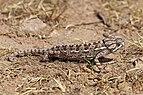 Mediterranean chameleon (Chamaeleo chamaeleon recticrista) 2.jpg