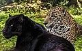 Melanism in Panthera Onca.jpg