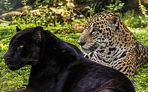 Melanism - The black jaguar was considered a different species, but is the same Panthera onca.