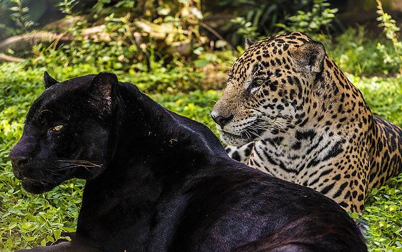 File:Melanism in Panthera Onca.jpg