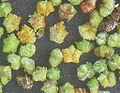 Melganzevoet vruchten Chenopodium album.jpg