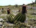 Melocactus intortus.tif