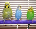 Melopsittacus undulatus - English Budgie and American Parakeets.jpg
