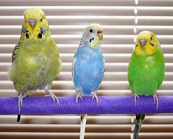 English: Budgerigars, Melopsittacus undulatus....