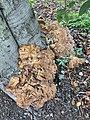 Meripilus giganteus 101211287.jpg