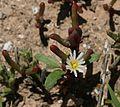 Mesembryanthemum nodiflorum - Flickr - S. Rae.jpg
