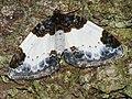 Mesoleuca albicillata - Beautiful carpet - Ларенция малинная (39146983030).jpg