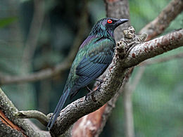 Metallic Starling male RWD1.jpg