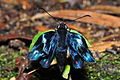 Metalmark unsucessfully emerged from chrysalis (10228607345).jpg