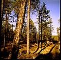 Metsä, Ivalo - Flickr - sushipumpum.jpg