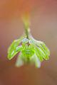 Micrommata virescens 2007.jpg