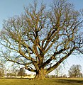 Mighty Oak - geograph.org.uk - 706638.jpg