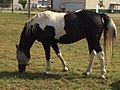 Missouri Fox Trotter, painted mare.jpg
