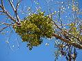Mistletoe-0854.jpg