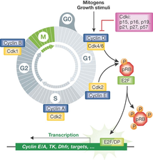 MAPK/ERK pathway - Wikipedia on cyclic adenosine monophosphate, mapk/erk pathway, apoptosis cascade, c-jun n-terminal kinases, jak-stat signaling pathway, protein kinase, adenylate cyclase, pi3k/akt/mtor pathway, protein kinase c, wnt signaling pathway, signal transduction, protein kinase cascade, tyrosine kinase, cyclin-dependent kinase, notch signaling pathway, amyloid cascade, signal transduction pathway cascade, receptor tyrosine kinase, tgf beta signaling pathway, caspase cascade,