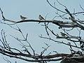 Mlade šumske ševe (Lullula arborea) Woodlarks, juvenile.jpg