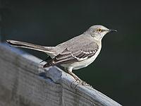 Adult At Sunset Beach North Carolina Fledgling Mockingbird In