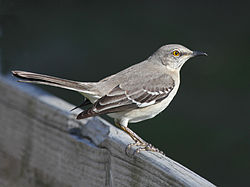 Mockingbird, Northern SunsetBeach.jpg