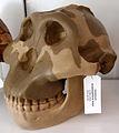 Modell eines Schädels des Australopithecus boisei.jpg