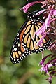 Monarch Butterfly in Madison Square Park 2019-10-01 21-05.jpg
